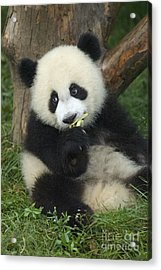 Acrylic Print featuring the photograph Panda Cuteness by Craig Lovell