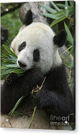 Acrylic Print featuring the photograph Panda Having Lunch by Craig Lovell