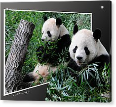 Panda Out Of Frame Acrylic Print
