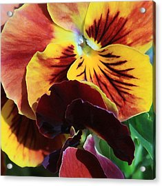 Acrylic Print featuring the photograph Pansies by Donna Corless