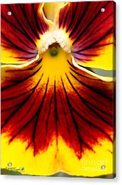 Acrylic Print featuring the photograph Pansy Named Imperial Gold Princess by J McCombie
