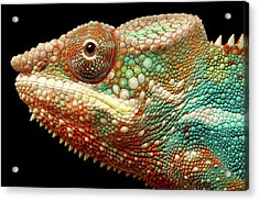 Panther Chameleon Acrylic Print by MarkBridger