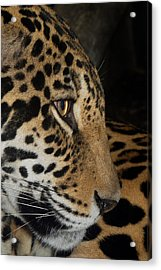 Panthera Onca In Profile Acrylic Print by Sym