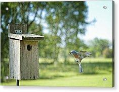 Papa Bluebird Bringing Supper Home Acrylic Print by Bonnie Barry