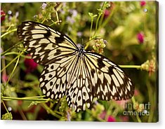 Acrylic Print featuring the photograph Paper Kite Butterfly by Eva Kaufman