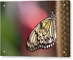 Papillon Acrylic Print by Pndtphoto