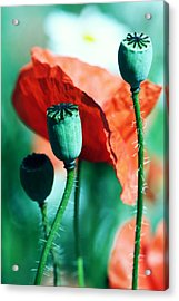 Papoula Acrylic Print by Falko Follert