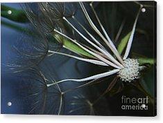 Parachute Seeds  Acrylic Print by Jeff Swan