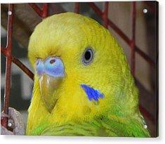 Parakeet Inside Cage Acrylic Print by Arindam Raha