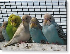 Acrylic Print featuring the photograph Parakeets In A Row by Bonnie Goedecke