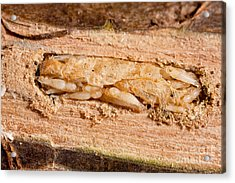 Parasitized Ash Borer Larva Acrylic Print by Science Source
