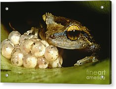 Parental Care By Tree Frog Acrylic Print by Dante Fenolio