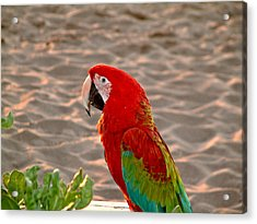 Parrot In Maui Acrylic Print by Rob Green