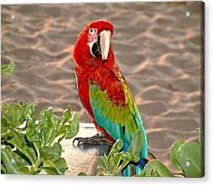 Parrot Sunning On The Beach Acrylic Print by Rob Green