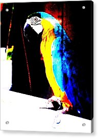 Parrot Acrylic Print by Todd Sherlock