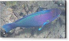 Acrylic Print featuring the digital art Parrotfish by Erika Swartzkopf