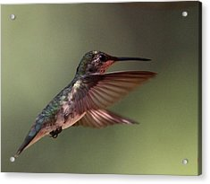 Partial Shade For The Ruby- Throated Hummingbird Acrylic Print by Travis Truelove