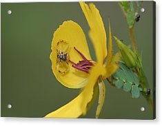 Partridge Pea And Matching Crab Spider With Prey Acrylic Print