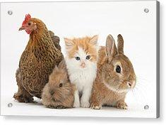 Partridge Pekin Bantam With Kitten Acrylic Print by Mark Taylor