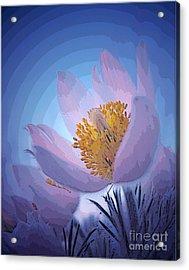 Pasque Flower Acrylic Print by Vivian Christopher