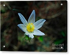 Pasqueflower At Dusk Acrylic Print