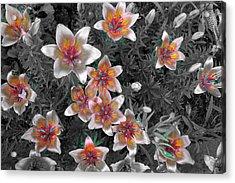 Pasqueflower In Silver Acrylic Print