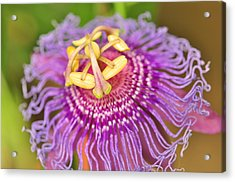 Passiflor Acrylic Print by Puzzles Shum