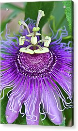 Acrylic Print featuring the photograph Passion Flower by Albert Seger
