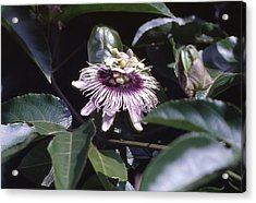 Passion Flower Acrylic Print by Craig Wood