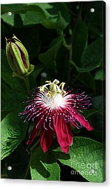 Passion Flower Acrylic Print by Eva Kaufman