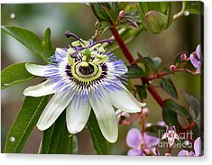 Passion Flower Acrylic Print by Teresa Zieba