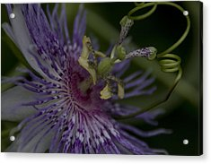 Passion Flower's Tendril Acrylic Print