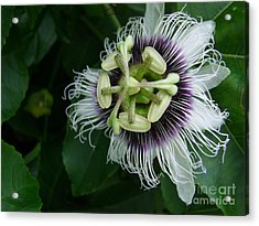 Passion Fruit Flower Acrylic Print by Mary Deal