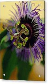 Passionate Flower Acrylic Print by Kathy Yates