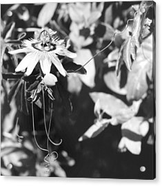 Passionflower And Tendrils Acrylic Print