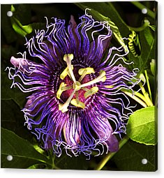Passionflower Acrylic Print by David Lee Thompson