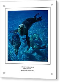 Patagonian Sea Lions Acrylic Print by Owen Bell
