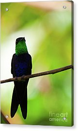 Acrylic Print featuring the photograph Patient Hummingbird by John Burns
