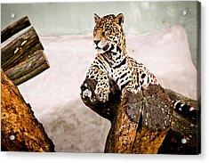 Patient Jaguar Acrylic Print by Ezequiel Rodriguez Baudo