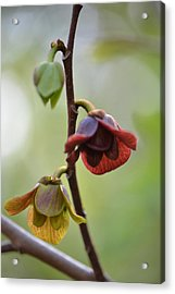 Acrylic Print featuring the photograph Paw-paw Flowers by JD Grimes