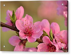 Peach Beautiful Acrylic Print