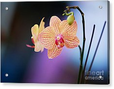 Peach Orchid Acrylic Print by Gary Bridger