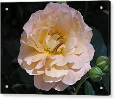 Peach Rose Acrylic Print by Andrea Drake