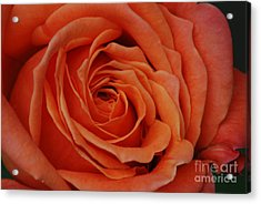 Peach Rose Close-up Acrylic Print