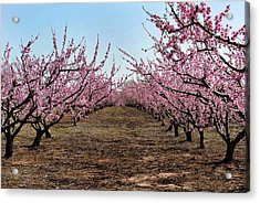 Peaches To Be Acrylic Print by Skip Willits