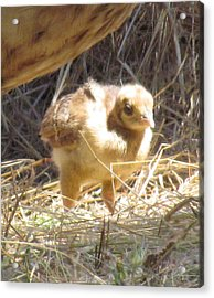 Acrylic Print featuring the photograph Peachick by Bonnie Muir