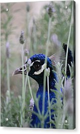 Peacock A Boo Acrylic Print by Amy Gallagher