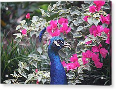 Acrylic Print featuring the photograph Peacock And Bouganvillas by Donna Smith
