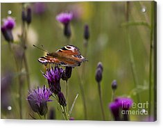 Peacock Butterfly On Knapweed Acrylic Print