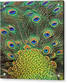 Acrylic Print featuring the photograph Peacock  Detail by Larry Nieland